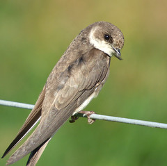 Sand Martin (Peanut1371) Tags: sandmartin martin bird brown white wire nationalgeographicwildlife
