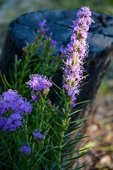 Gayfeather (Kreative Capture) Tags: gayfeather wildflower purple plant texas stump light aster liatris nikon d7100 outdoor flower old