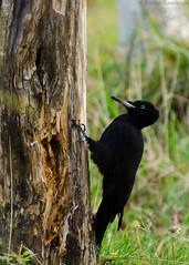 Dryocopus martius (Dreemeli) Tags: dryocopusmartius bird blackwoodpecker linnut luonto nature palokärki