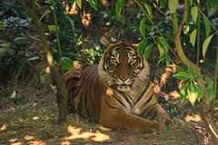 Sumatran Tigers 0038 (ros.wood) Tags: animals wildanimals sumatrantiger zooanimals nikon 18200nikonvriilens nikon1v3 v3 ft1 london