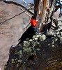 Male Magellanic Woodpecker (Michael St Clair) Tags: trees lagunadelostres argentina southamerica patagonia elchalten campephilusmagellanicus magellanicwoodpecker woodpecker