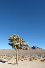 Joshua Tree (Flugechse) Tags: california joshuatree