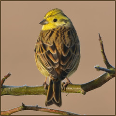 Yellowhammer (image 1 of 2) (Full Moon Images) Tags: rspb fen drayton lakes wildlife nature reserve cambridgeshire bird yellowhammer