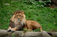 Afrikaanse leeuw - Panthera leo leo - African Lion (MrTDiddy) Tags: afrikaanse leeuw panthera leo african lion bigcat grotekat grote cat big kat feline zoogdier mammal male mannelijk nestor