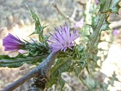 Cirsium creticum 6 (heinvanwinkel) Tags: 2013 kastraki