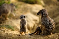 Erdmnnchen (Christoph Kampf) Tags: erdmnnchen meerkat wild animal sun gras nature wildlife nikon 80200 28