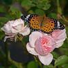 Rose for My Rose (mishko2007) Tags: marvjohnson rose argyreushyperbius korea indianfritillary 150500mm