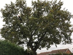 """Crown thin and lift on this back garden oak today. The location of the tree meant it covered 8 gardens in total. All were informed beforehand and left spotlessly tidy 😃 #wardenstreecare <a style=""""margin-left:10px; font-size:0.8em;"""" href=""""http://www.flickr.com/photos/137723818@N08/30228936703/"""" target=""""_blank"""">@flickr</a>"""