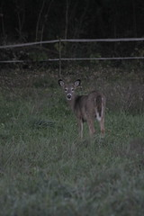 _MG_1925 (thinktank8326) Tags: deer whitetaileddeer fawn doe babyanimal babydeer