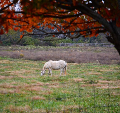 Grazing in the afternoon #horsefarmcountry #autumn2016🍁 #fallcolors🍁🍂 #kytourism #sharethelex #horses