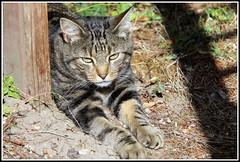 Au soleil ! (Les photos de LN) Tags: cat chat flin pet animaldomestique animaldecompagnie mammifre tabby europen tigr animal nature