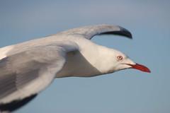 Silver gull in flight (natalia.bird_nerd) Tags: bird silvergull flying