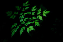Leaves (Yuta Ohashi LTX) Tags: green leaf plant