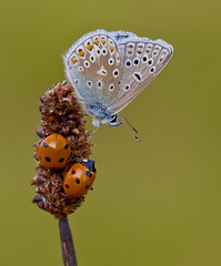 Common Blue, Ladybirds - Polyommatus icarus, Coccinella Septempunctata (Ivan Lynas Nature Photography) Tags: