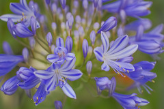 3D Burst (satochappy) Tags: agapanthus flower burst purple spring depthoffield bud flowers cluster macro tamron bokeh buds