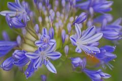 3D Burst (satochappy) Tags: agapanthus flower burst purple spring depthoffield bud flowers cluster macro tamron bokeh buds