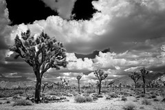 Joshua Storm Clouds (*trevor) Tags: 2016 23mmxf14r america california desert fujifilm ir joshuatree joshuatreenationalpark nps stormclouds usa xseries xt1 blackandwhite clouds infrared monochrome