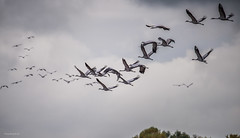 Avensermoor - Kraniche . . . gen Sden (Pana53) Tags: photographedbypana53 pana53 kraniche schaar flug studie flugstudie himmel wolken bewlkt naturundlandschaftsfotografie naturfoto naturfotografie wildlife wildlifefotografie outdoor fauna nikon nikond810