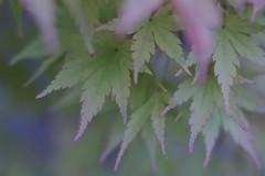 Momiji Japanese Maple  Kyoto / Japan (Kashinkoji) Tags: sony a77 slt leaves