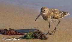 Dunlin (Anne Marie Fraser) Tags: bird shore shorebirds animal outdoor ocean beach dunlin nature wildlife sea