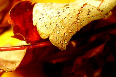 Laubtropfen... (Barbara Wenzel-Winter) Tags: laub herbstlaub herbst wassertropfen abstrakt makrowelten makro leaves autumn raindrops drops