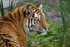 Yorkshire Wildlife Park 03.11.16 084 (SnapAndy1512) Tags: yorkshirewildlifepark031116 yorkshirewildlifepark yorkshire tiger tigers bigcats animals zoo
