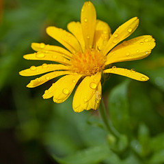 26. Juli 2016: Regentropfen auf einer Ringelblume (Gertraud-Magdalena) Tags: sommer juli garten garden giardino ringelblume gelb yellow giallo regentropfen tropfen raindrops drops