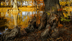 """knots and knees (listening to """"gentle hour"""", yo la tengo version) (jeneksmith) Tags: landscape rural msdelta mississippidelta blueshighway hwy61 highway61 canon mississippi merigold cypress fall colors gold light shadows nature natural red green water reflection swamp trees leaves autumn foliage serene calm warm"""