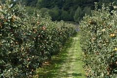 ckuchem-2195 (christine_kuchem) Tags: apfelplantage biolandwirtschaft erntezeit landbau landwirtschaft naturhof obstplantage biologisch obstbã¤ume reif ãpfel