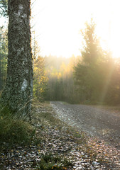 sun on dirtroad (dovlindphoto) Tags: light sun road tree woods forest landscape nature sweden