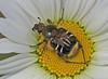 CAC003256a-2 (jerryoldenettel) Tags: 2014 beemimicbeetle cetoniinae coleoptera florenceco grandmalake grandmalakewetlands scarabaeidae trichiotinus trichiotinusassimilis wi beetle insect mimicbeetle