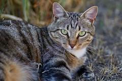 le regard (rondoudou87) Tags: cat chat felin yeux eyes pentax k1 nature portrait face aficionados concordians