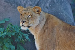 African Lion - thoughtful stare (stevelamb007) Tags: lion lincolnparkzoo chicago zoo stevelamb nikon d7200 sigma 150600mmcontemporary