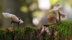 Fungus Photogenus after 8 day's (Role Bigler) Tags: canon canoneos5dsr ef28100mmlmacroisusm emmental mushroom natur nature pilze schweiz snail suisse switzerland bokeh bokehlicious forest fungi nacktschnecke schnecke wald wood
