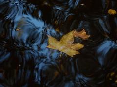 Automne... Autumn... (alainpere407) Tags: alainpere automne autumn fall feuillemorte deadleaf jardinduluxembourg paris candidpictureinparis romanticparis parisinsolite saariysqualitypicturesgallery vividsrtriking