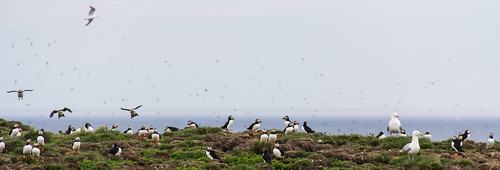 Puffins at Elliston wide