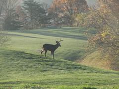 (Autumn's Lull) Tags: deer stag nature animal light morning