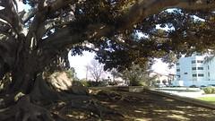 (clascaris) Tags: ficus mortonbayfigtree hugetree 102106yearoldtree