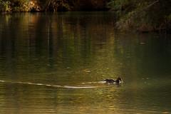 _MG_9209-1 (saparmo) Tags: alcal jcar patos lago ro reflejos albacete