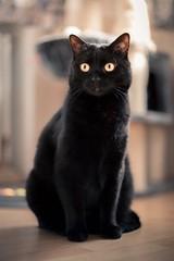 Tapsy (DaOpfer) Tags: yelloweyes bokeh katze k1 pentax cat haustier schärfentiefe black eyes smcpentaxda55mmf14sdm
