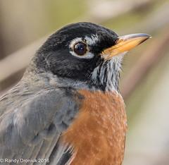 Yardbirds: American Robin (rdroniuk) Tags: birds robin smallbirds passerines americanrobin turdusmigratorius oiseaux passereaux merle merledamérique