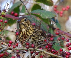 song thrush (1) (Simon Dell Photography) Tags: thrush mistle bird nature detaile macro close up sunlight red berrys festive image photo castleton derbyshire peak district uk britain country side valley hope national park high 2016 simon dell photography sheffield england views old new pics pictures winter autumn