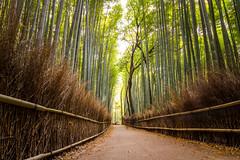 Bamboo Forest (Jos Miguel Serna) Tags: 2016 japan japn josemiguelserna kyoto arashiama bamboo landscape beautiful light forest illumination canon arashiyama asia rgraffiks japanese nature travel trip spring primavera bambooforest bamboogrove  kioto
