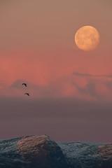 November Supermoon setting with two seagulls (jasonkb) Tags: supermoon moon full fullmoon norway hammerfest northernnorway artic polar arcticcircle polarcircle cold ice snow frost auroraborealis aurora northernlights nordlys nordnorge finnmark 600mm pentax600mmf4fa supertele supertelephoto telephoto