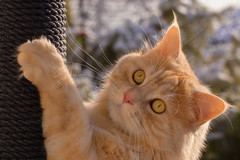 Hang on, Linus ! (FocusPocus Photography) Tags: linus katze kater cat chat gato tier animal haustier pet