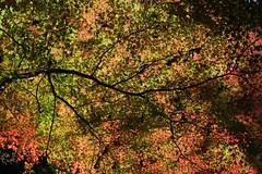 Momiji (ababhastopographer) Tags: nara kasuga kasugayama mtkasuga yagyuroad maple acerpalmatum gradation shadowplay       fivecolors
