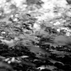 Across Forest Floors 010 (noahbw) Tags: d5000 dof nikon ryersonwoodsforestpreserve abstract blackwhite blackandwhite blur bokeh bw dreamlike dreamy forest landscape leaves light monochrome natural noahbw shadow spring square woods