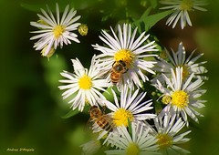 Bees on flowers (Darea62) Tags: bee insect animal flowers nature daisy pollen petals autumn garden wildlife