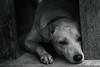 Moody Tuesday - 4118 (TheHouseKeeper) Tags: dog canine domestic pet joaquin blackwhite monochrome thehousekeeper georgemateo mateo lonely emotions sad mood mixbreed
