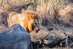 Who is the boss (mayekarulhas) Tags: krugerpark mpumalanga southafrica za